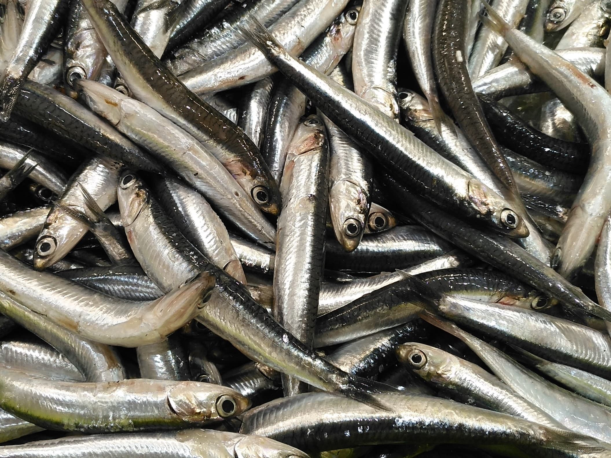 Productes Singulars De La Selva: Peix Blau De La Costa Brava Sud